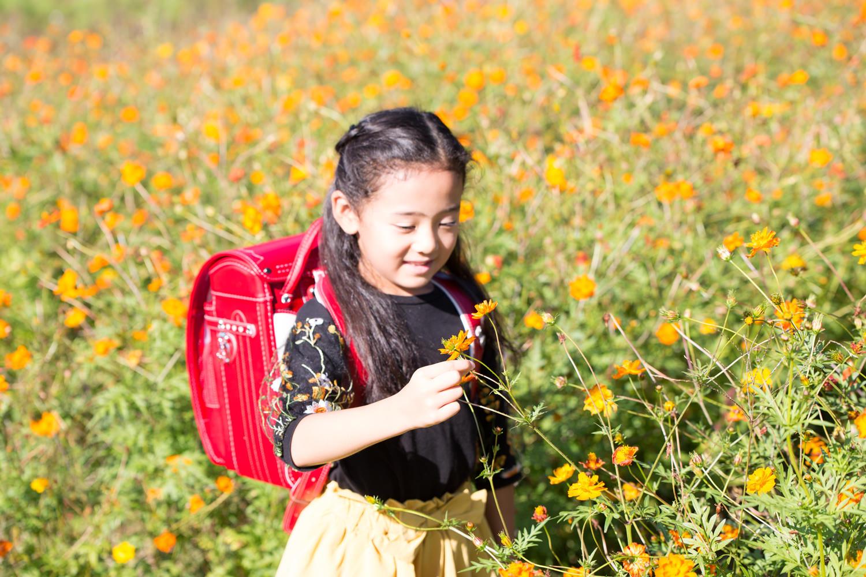 オレンジのコスモスを摘む赤のランドセルの女の子