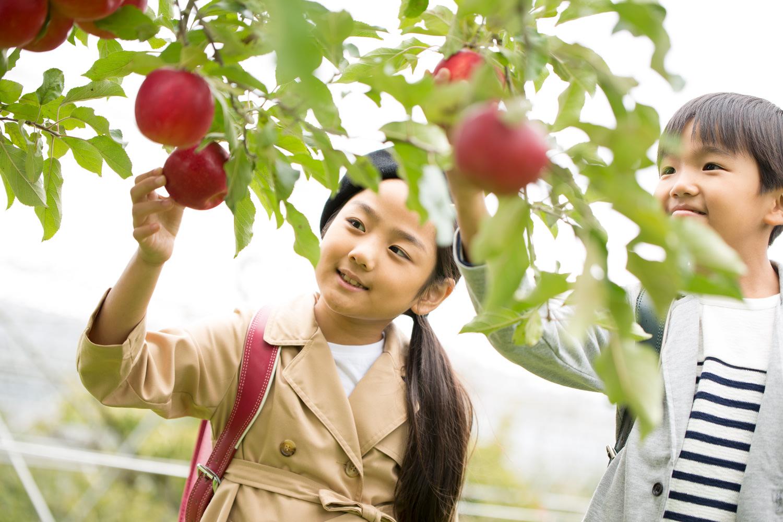 そのまま食べたい世界一のりんご「ふじ」